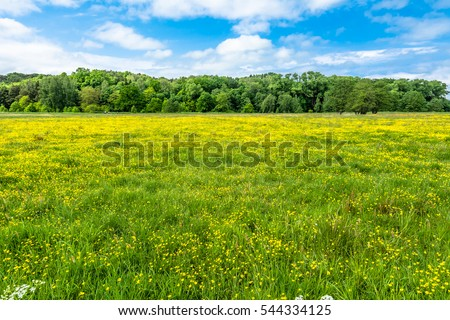 Buttercup flowers on spring meadow near forest and blue sky