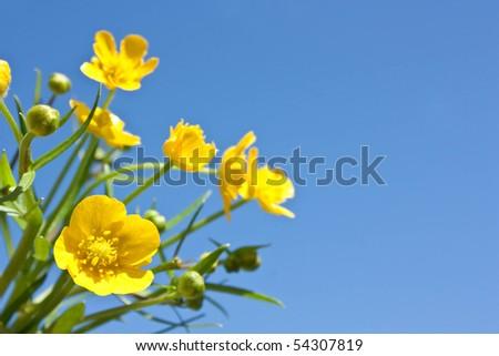 buttercup. yellow flower closeup