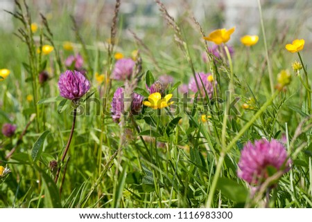 Buttercups and red clover in a meadow