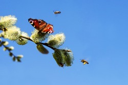 Butterflie Peacock eye and bees collect nectar from a fluffy flowering willow against a blue sky in spring