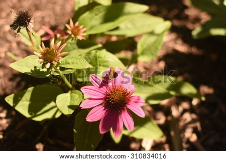 Butterflies and Bee on Cone Flower