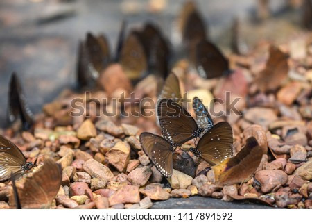 Butterflies are insects in the macrolepidopteran clade Rhopalocera , which also includes moths. Adult butterflies have large, often brightly coloured wings, and conspicuous,  fluttering flight #1417894592