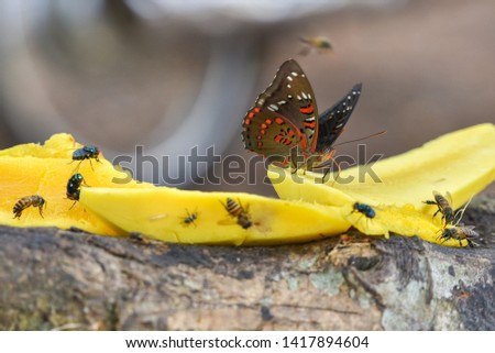 Butterflies are insects in the macrolepidopteran clade Rhopalocera , which also includes moths. Adult butterflies have large, often brightly coloured wings, and conspicuous,  fluttering flight #1417894604