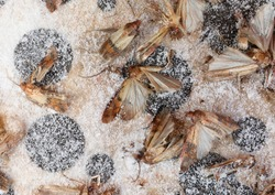butterflies called indianmeal moths trapped in pheromone trap to prevent infesting pantry food