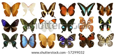 butterflies collection varied colorful butterfly rows isolated on white [Photo Illustration]