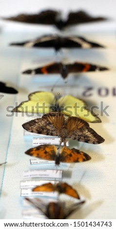 Butterflies in a insect collection