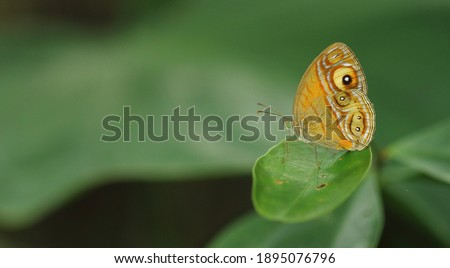butterflies, of beautiful insects.eye spot with glade eye bush brown butterfly. stock photo