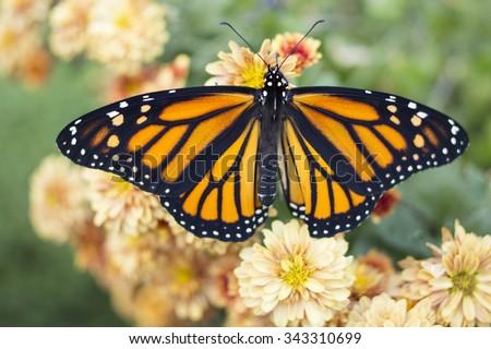 Butterfly #343310699