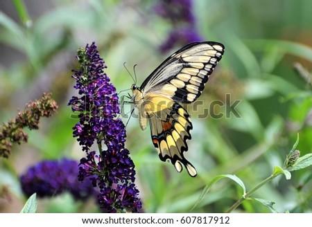 Butterfly #607817912