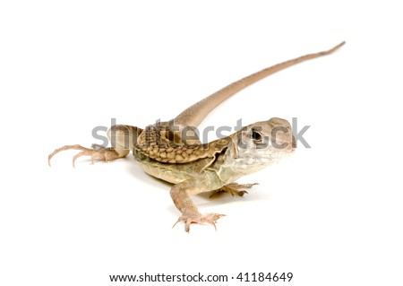 Butterfly Agama Lizard (Liolepis belliana) isolated on white background