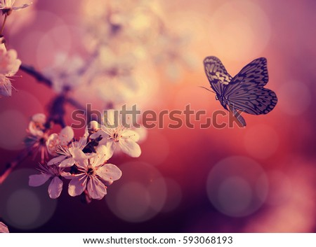 Butterfly and cherry blossoms in sunset at the spring nature