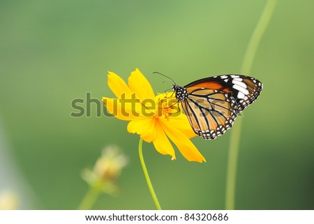 Butterfly and flower (Common Tiger)