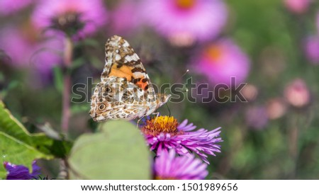 Butterfly and Purple Pink Flowers Closeup in a Summer Garden