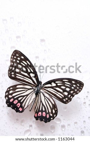 Butterfly and water drops