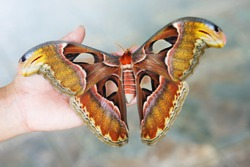 Butterfly Atlas moth or the Prince of darkness. It's the biggest moth ever. Curved edge of the front wing in shape and color imitates a snake's head. This deters many insect-eating animals.