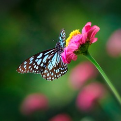 Butterfly Blue Tiger or Danaid Tirumala limniace on a pink zinnia flower with dark green pink blurred bokeh background
