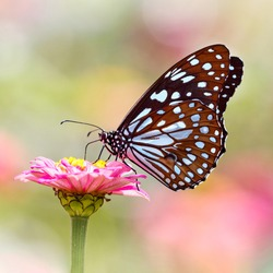 Butterfly Blue Tiger or Tirumala limniace on pink Zinnia flower with light colorful blurred bokeh background