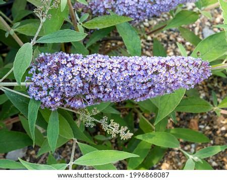 Butterfly bush, Buddleja davidii 'Pink Delight', with lilac flowers in garden, Netherlands Stock photo ©