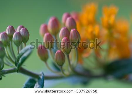 Butterfly bush flower buds #537926968