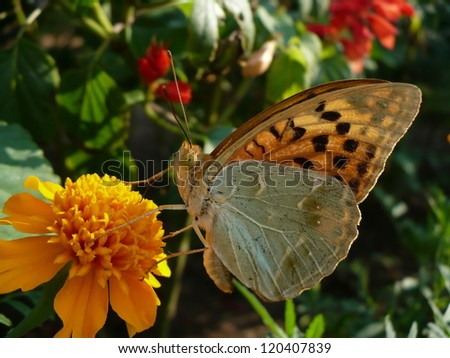 Butterfly - cardinal (Argynnis pandora)drinks the nectar of the flower - stock photo