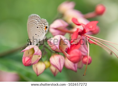 Butterfly (Chilades pandava)