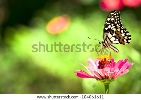 Butterfly, Chilasa Clytia feeding on a pink daisy flower.