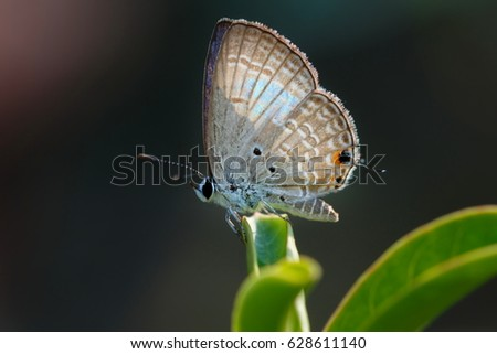 Butterfly,Close up of Prosotas Nora butterfly. Prosotas nora, the common lineblue, is a species of  lycaenid butterfly found in Asia. #628611140