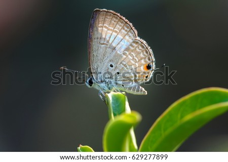 Butterfly,Close up of Prosotas Nora butterfly. Prosotas nora, the common lineblue, is a species of  lycaenid butterfly found in Asia. #629277899