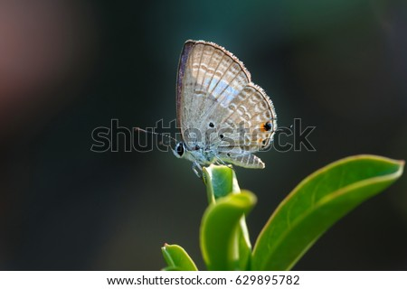 Butterfly,Close up of Prosotas Nora butterfly. Prosotas nora, the common lineblue, is a species of  lycaenid butterfly found in Asia. #629895782