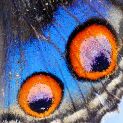 Butterfly,Closeup Blue Pansy butterfly wing (Junonia orithya)