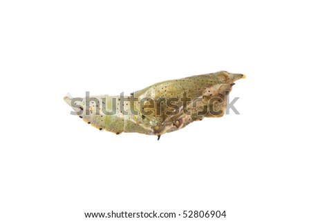 Butterfly cocoon isolated
