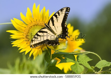 Butterfly collecting pollen from large sunflower