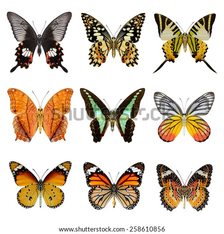 Butterfly collection ,set of lower wing profile butterflies