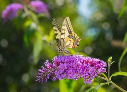 Butterfly collects pollen from flowers in the garden