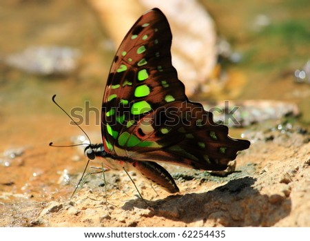butterfly drinking earth moisture