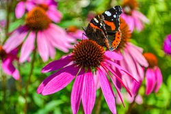 butterfly drinks nectar of a sweet echinacea flower