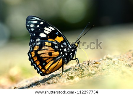 Butterfly (Eastern Courtier) , Thailand