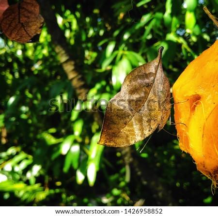 Butterfly eating fruit in garden Orange Oakleaf Kallima inachus Butterfly #1426958852
