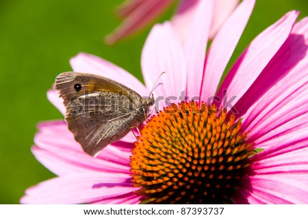 Butterfly feeding on echinacea plant