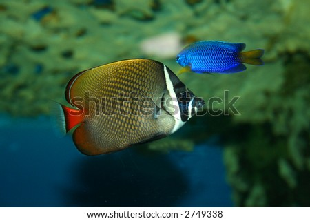 butterfly-fish in the tropical sea