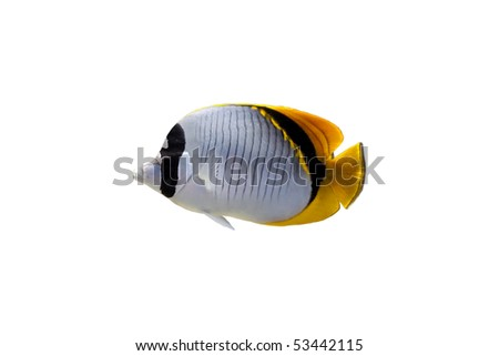 Butterfly fish isolated on a white background