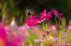 Butterfly fly around purple Mexican Aster (Cosmos bipinnatus) with lovely color HD