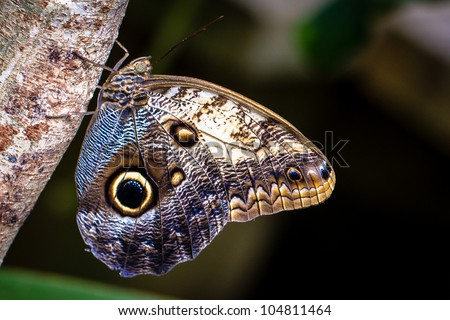 Butterfly hanging from tree closeup (Great owl)