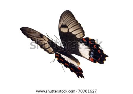 Pictures Of Butterflies In Flight. Butterfly in flight,