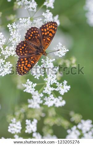 butterfly in habitat