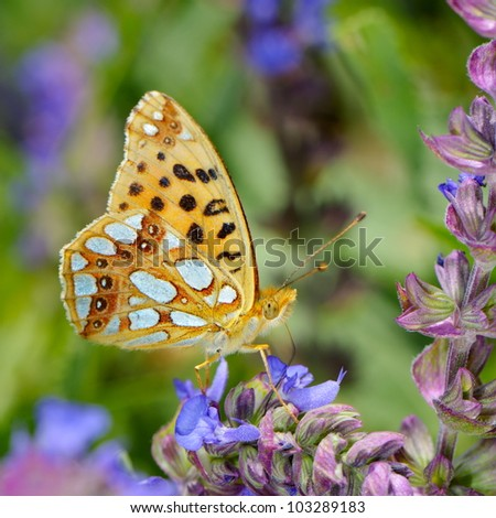 butterfly in natural habitat (issoria lathonia)