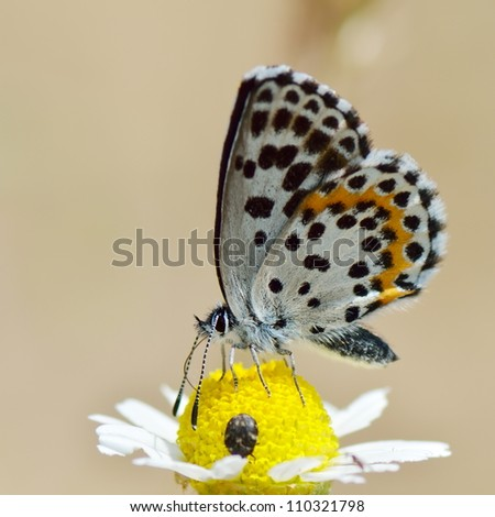 butterfly in natural habitat (scolitantides orion)