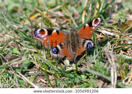 butterfly inachys io on flower #1056981206