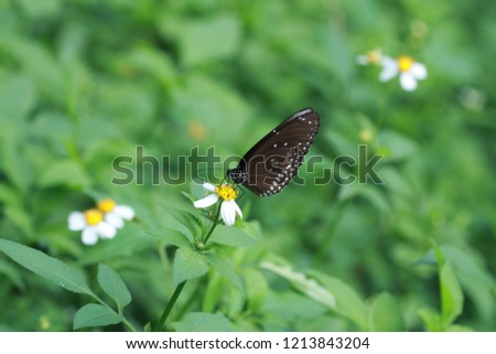 Butterfly is clinging  and drinking nectar from flower in the garden on green leaf background. Butterfly is a pollinator which  help pollination in the flower.  Picture is out of focus