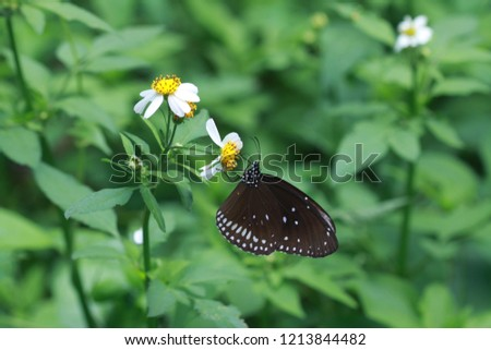 Butterfly is clinging  and drinking nectar from flower in the garden on green leaf background. Butterfly is a pollinator which  help pollination in the flower.  Picture is out of focus.